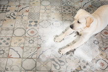Labrador Dog Looking With Guil...