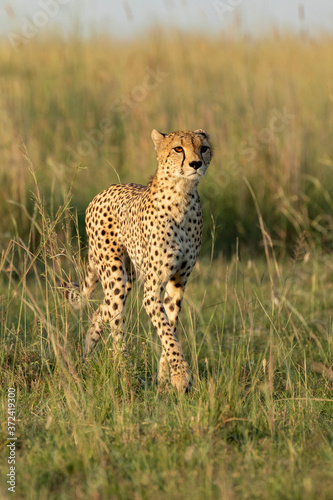 Photo Vertical full body portrait of adult cheetah with amber eyes walking in tall gre