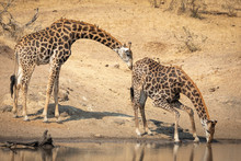Two Adult Male Giraffe Standin...