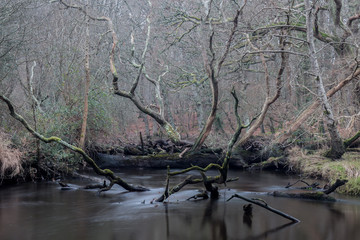 Here is a winter woodland scene where fallen trees have fallen in a storm and blocked a river. Now seen in the silent, still aftermath