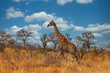canvas print picture Giraffe walking through the grasslands of Kruger National Park, South Africa