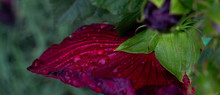 Hibiscus Flower With Water Drops After Rain