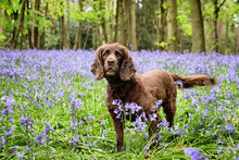 Bluebell Woods In Bloom, Guild...