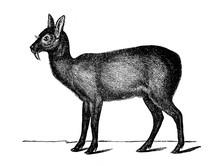 Musk Deer In The Old Book Encyclopedic Dictionary By A. Granat, Vol. 6, S. Petersburg, 1894