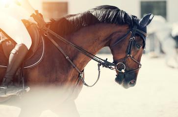 Equestrian sport. Portrait sports brown stallion in the bridle.
