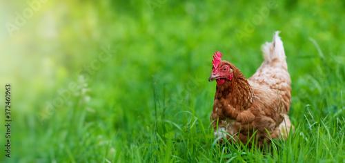 chicken in grass on a farm Fototapeta