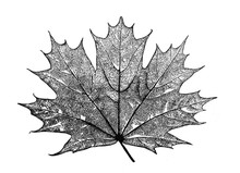 Maple Leaf In The Old Book Enc...