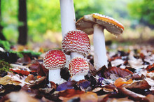 Amanita Muscaria, Commonly Kno...