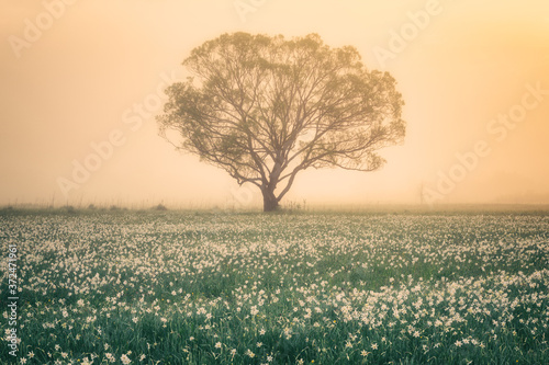 Photo Amazing nature landscape with single tree and flowering meadow of white wild growing narcissus flowers in dense fog at sunrise