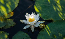 Beautiful Flower Of The White Nymphaea Alba. Water Lily Among Green Leaves And Water. A Water Lily In The Water On A Warm Summer Day.
