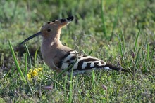 Hoopoe (Upupa Epops) Stands On Green Grass In A Spring Morning. The Hoopoe Is A Small Bird With Bright Plumage, A Narrow Elongated Beak And A Fan-shaped Crest.