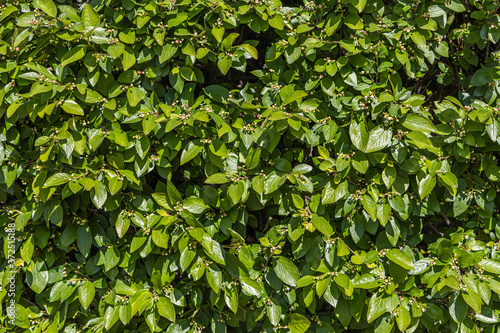 Fotografie, Obraz Cotoneaster bush for hedges with green young fresh leaves and buds is in a park