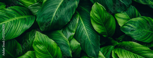 abstract green leaf texture, nature background, tropical leaf Fototapete