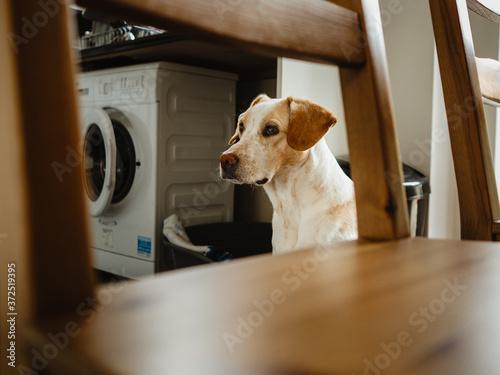 Fotografia Dog in the kitchen