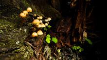 A Pack Of Mushrooms Growing In...