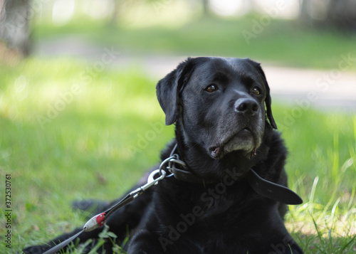 An elderly dog is resting on the grass while walking Canvas Print