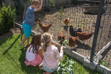 The Children Feed The Chickens That Are Behind The Wire Mesh Fence With The Frava And Leaves Of