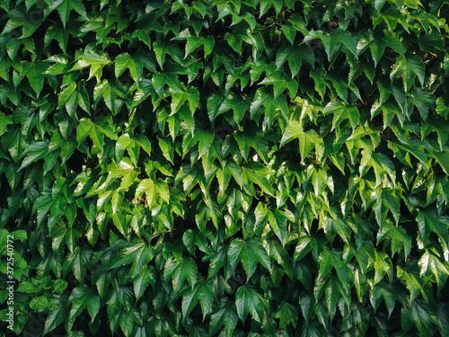 Fotografia Green wild grape leaves. Natural background.