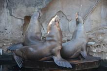 Seelöwe Im Aquarium Vancouver...