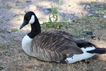 Canada Goose Branta Canadensis, Sweden