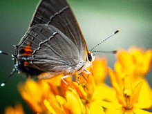Close Up Of Gray Hairstreak Butterfly On Green Leaf Showing Detail Of Wings, Face And Antennae.