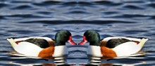 A View Of A Shelduck