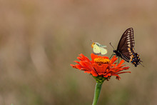 A Black Swallowtail And A Yellow Sulphur Butterfly On An Orange Zinnia Flower With A Brown, Out Of Focus Background.