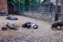 Piglets Suckling A Black Sow At Animal Farm