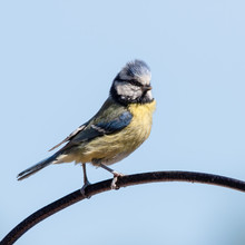 Blue Tit Perched On A Wire
