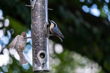 Red Breasted Nuthatch And A Sp...