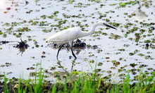 Egret In The Wild, Egret Is Lo...