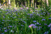 Meadow Of Purple Sticky Geranium (cranesbills) Wildflowers On The Forest Floor In The Shoshone National Forest Of Wyoming