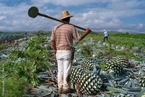 Foto El jimador está parado con su herramienta coa agavera.