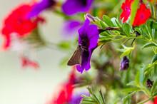 Horace's Duskywing Skipper On A Purple Flower
