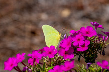 Cloudless Sulphur Butterfly On Purple Flowers