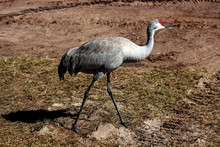 Animalia Fauna Familia Gruidae...