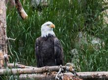 Captive Bald Eagle (Haliaeetus Leucocephalus), West Yellowstone,Wyoming,USA