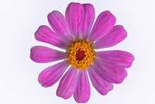 Pink Zinnia Violacea Top View ...
