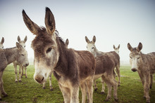 Herd Of Domestic Donkeys Pasturing In Green Meadow During Foggy Morning In Countryside