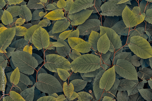 Fotografering Close-up of the tinted leaves of the Polygonum sachalinense plant