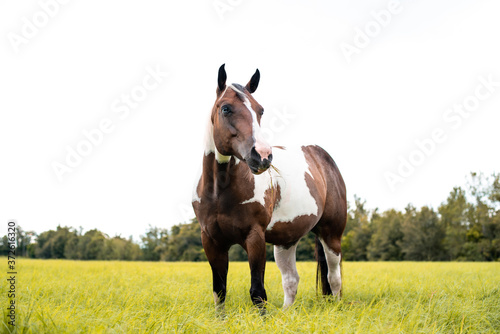 Obraz na plátně American Paint Horse mare with blue eyes, Westren breed grazing in a green field