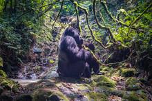 Siverback  Gorilla Of The Kwit...