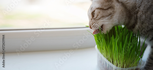 Photographie Close-up of a beautiful grey cat eating fresh green grass.
