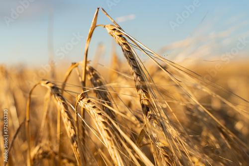 Agricultural field Fototapet