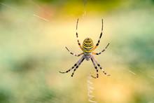 Spelt Fasciated (argiope Bruennichi) In Its Web
