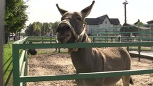 Donkey Makes Appealing Sounds For Donkeys During The Day On Farm