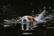 Swimming Terrier Dog