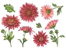 Watercolor Set Of Chrysanthemu...
