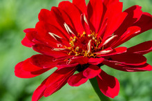 Zinnia Is A Genus Of Sunflower Plants In The Daisy Family. They Come From Shrubs And Dry Pastures In An Area That Extends From The Southwestern United States To South America.
