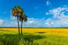 Field Of Tickseed Wildflowers In Myakka River State Park, Sarasota Florida. Coreopsis, Commonly Known As Tickseed, Is The Official State Of Florida Wildflower